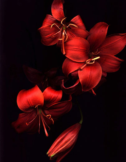 """Red Lilies"" by Jan Kather at Blink Gallery"