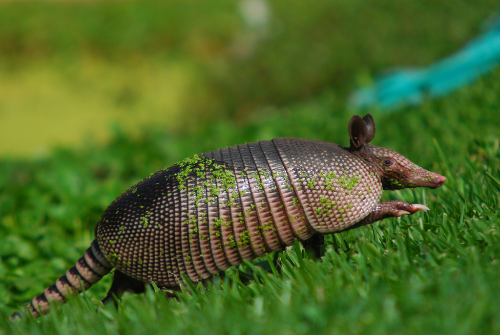 """Armadillo"" by Chris van Dyke"